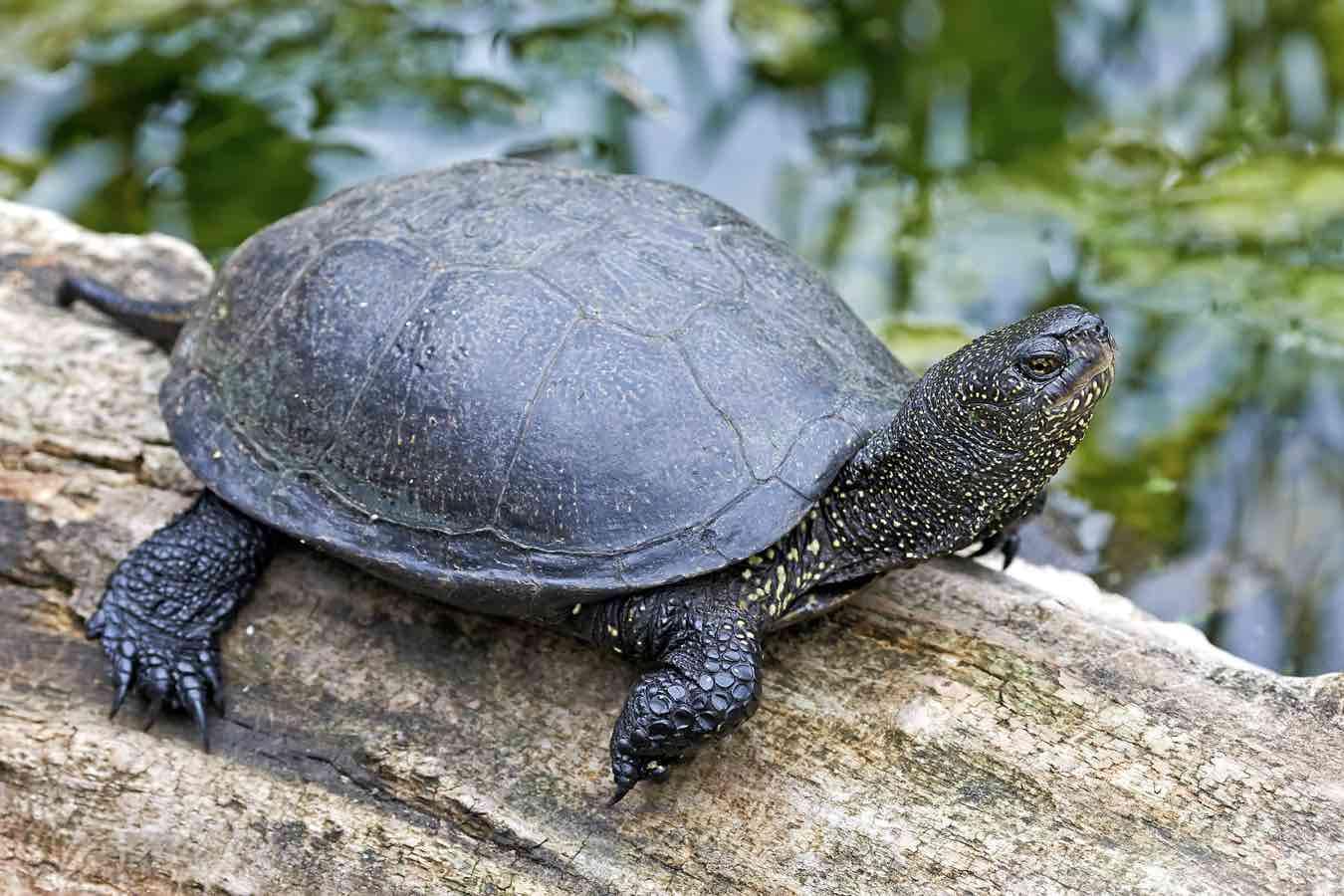 European pond turtle resting in its natural habitat