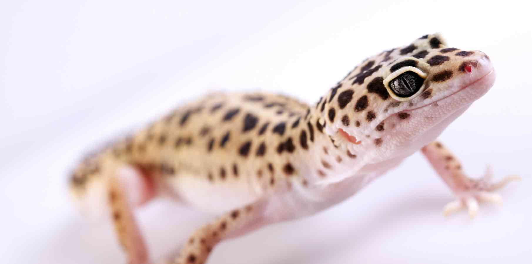 Closeup of gecko. studio shots