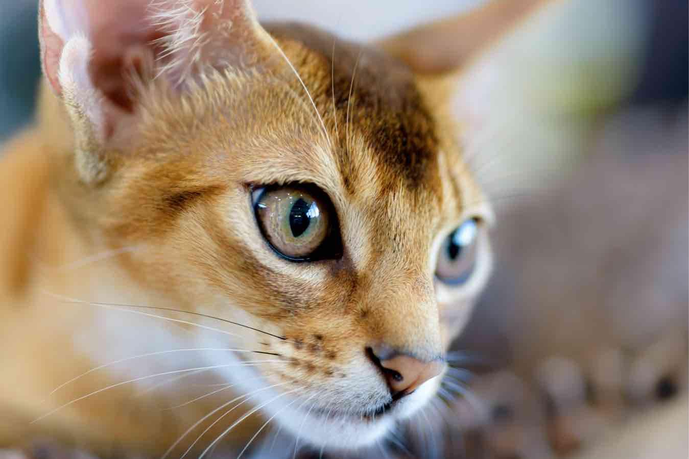 Abyssinian cat portrait