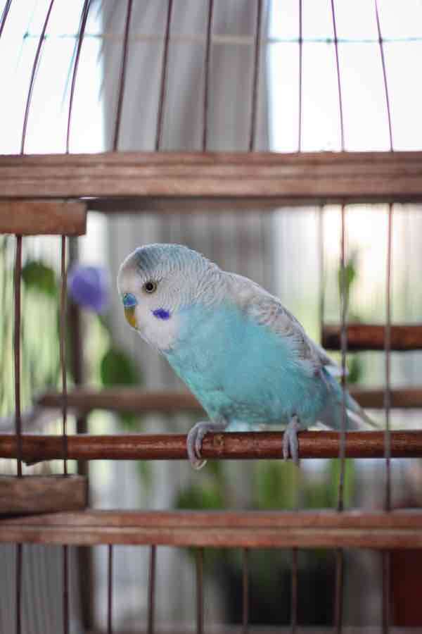 Blue budgie sits in a cage