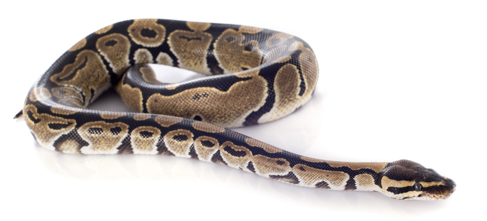 Python regius in front of white background