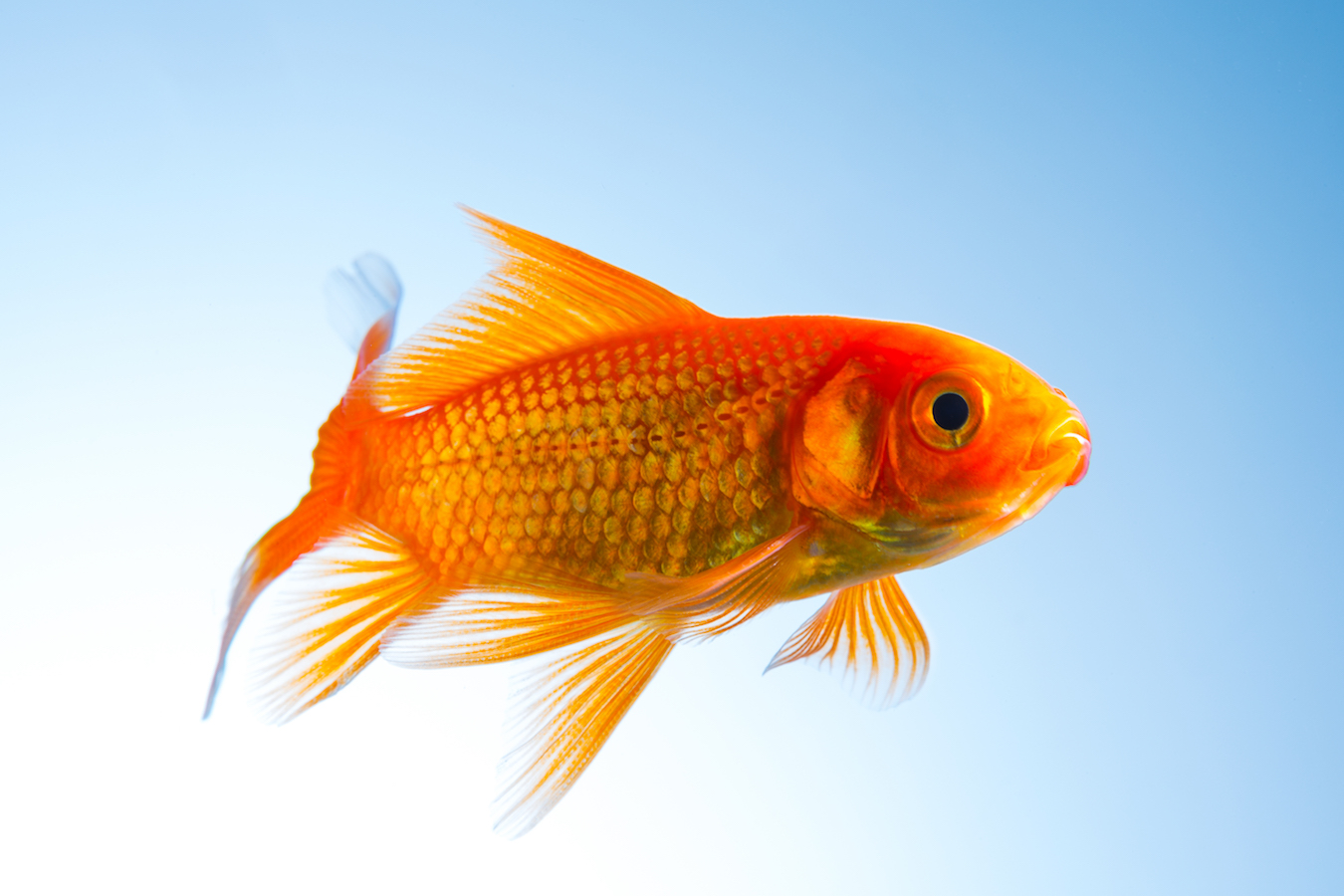 A goldfish underwater on blue background. Taken in Studio with a 5D mark III.