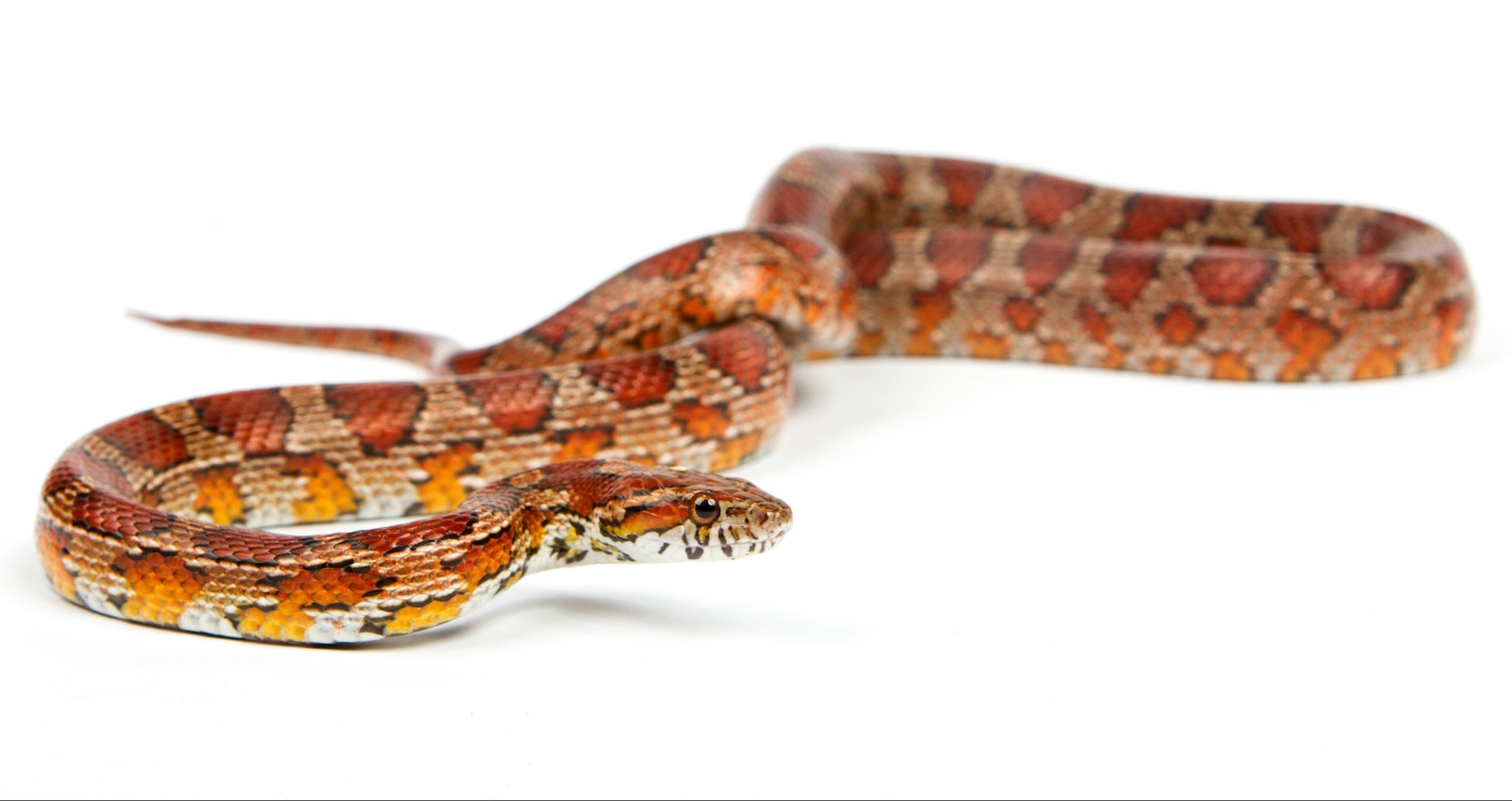 snake.elaphe guttata.young boa constrictor on a white background.