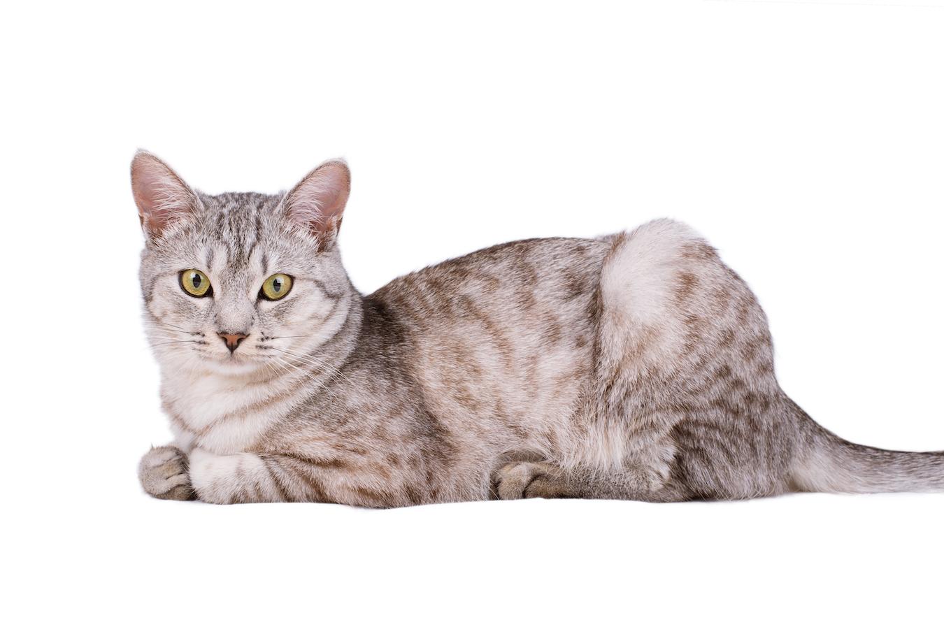 gray tabby cat European portrait