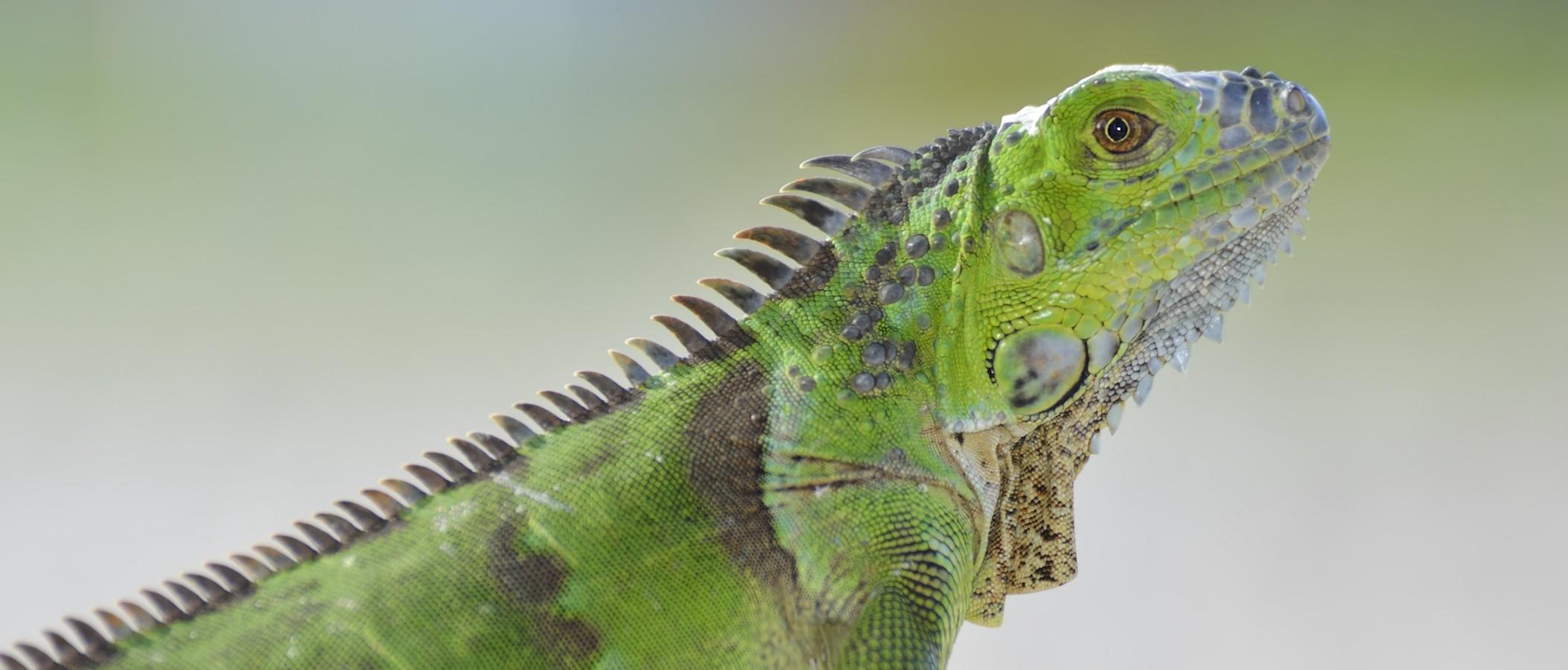 Green Iguana Basking On The Stone Wall