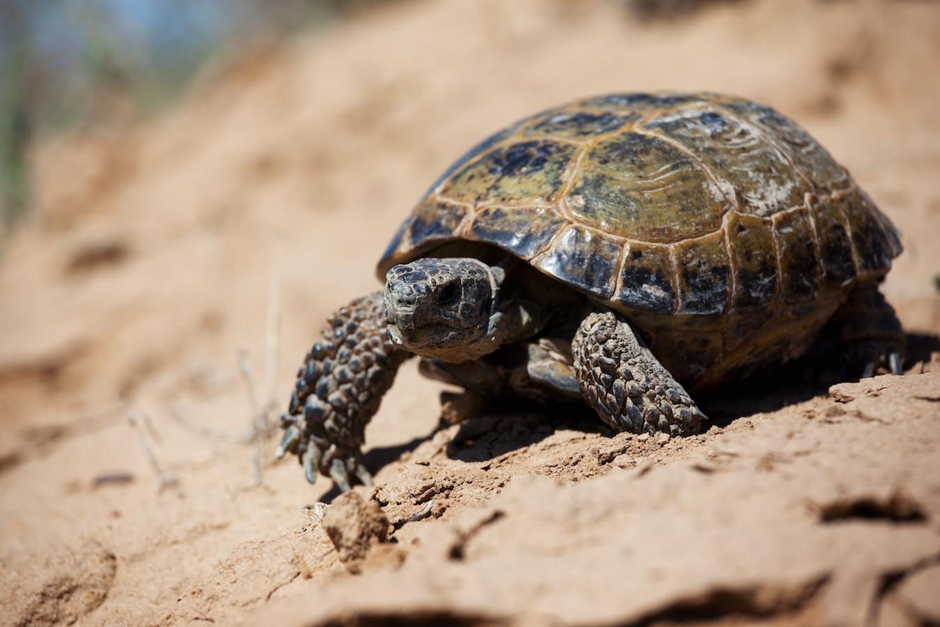 Steppe tortoise (Testudo (Agrionemys) horsfieldii)