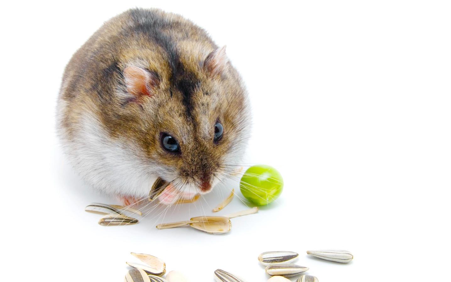 hamster clicks sunflower seeds on white background