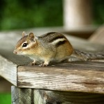 Digital Photo of Chipmunk on the Table With Green Background