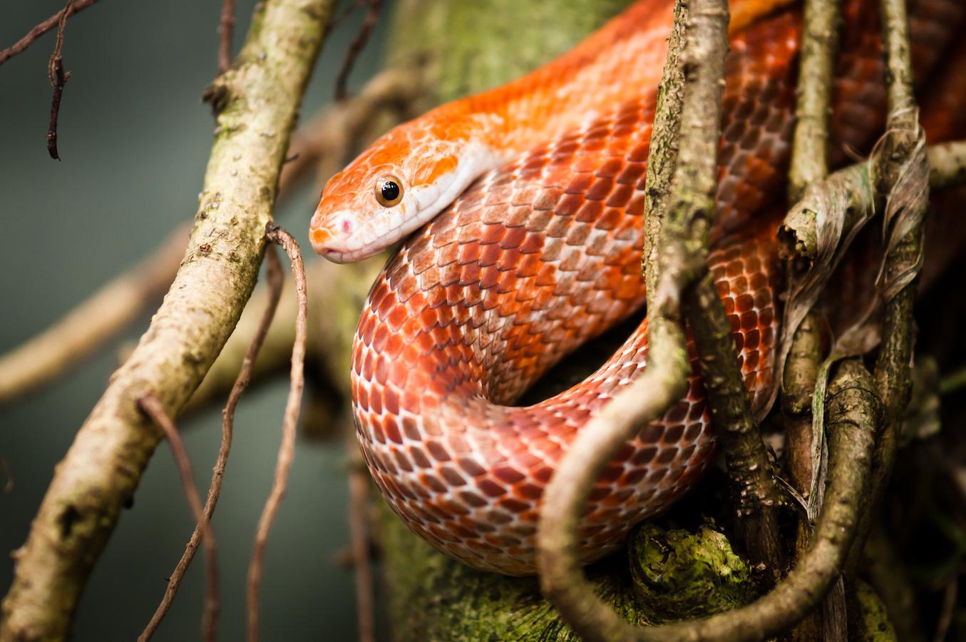 red rat snake in capture