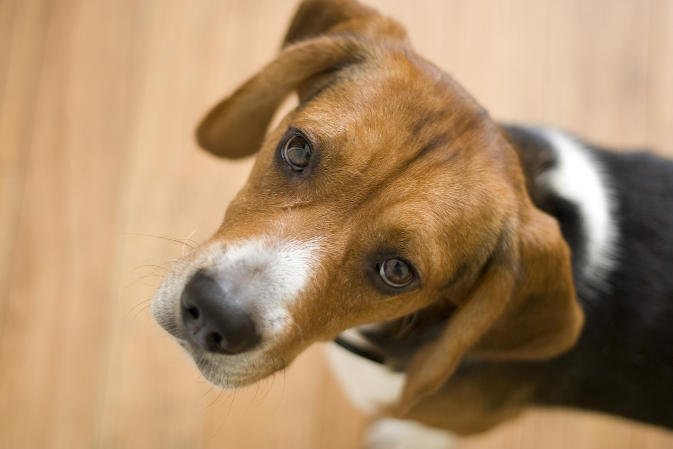 A cute purebred beagle with plenty of copy space.