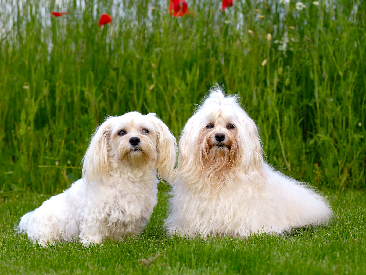 Two dogs is posing on green grass.  Breed: Bichon Havanais