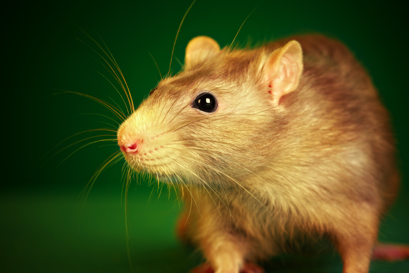 Rat on a green background...