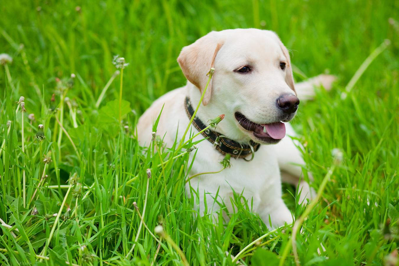Labrador retriever resting in spring grass