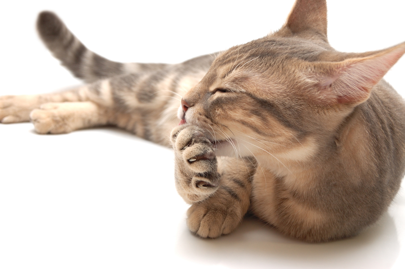 Striped cat lying on white table and licking own paw