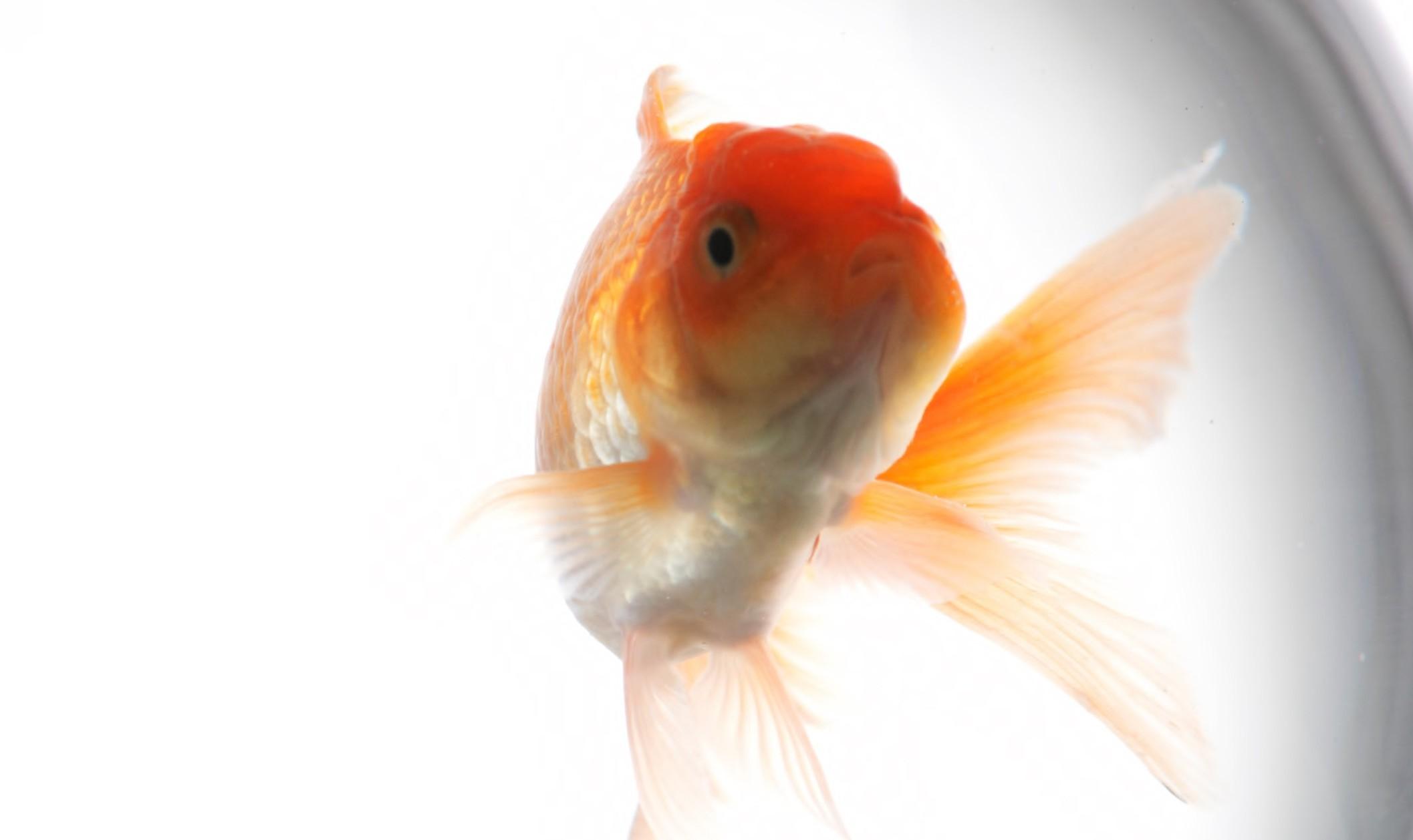 An image of gold fish in aquarium