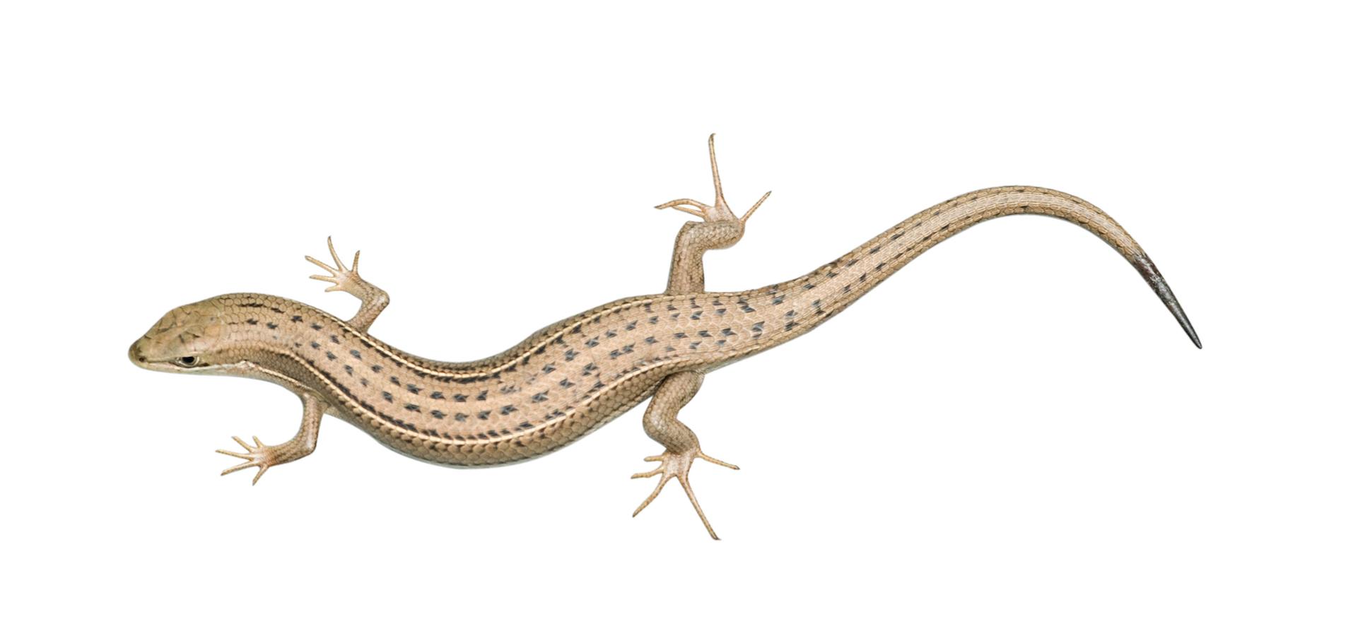 Skink lizard isolated on white background