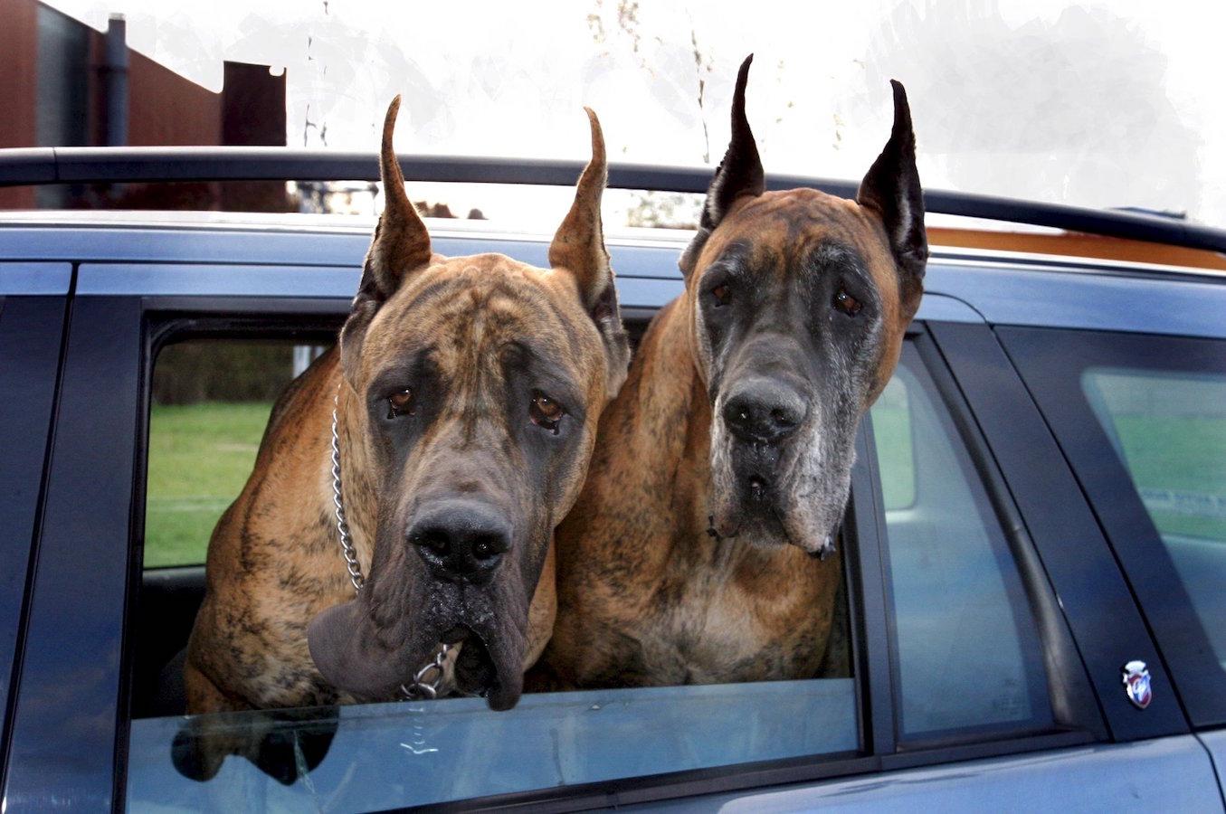 ©PHOTOPQR/LE REPUBLICAIN LORRAIN/BROCARD Pascal ; Dogues allemands dans une automobile