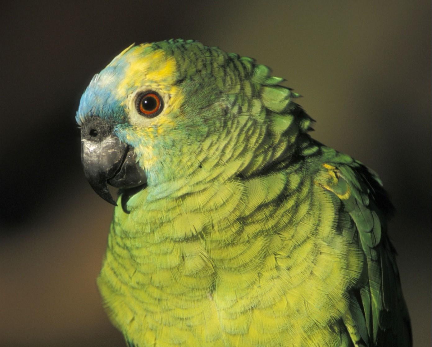 R027_020 -- Blue cheeked Amazon. -- © Francis Apesteguy Full-length article also available for publication. Article egalement disponible pour publication.