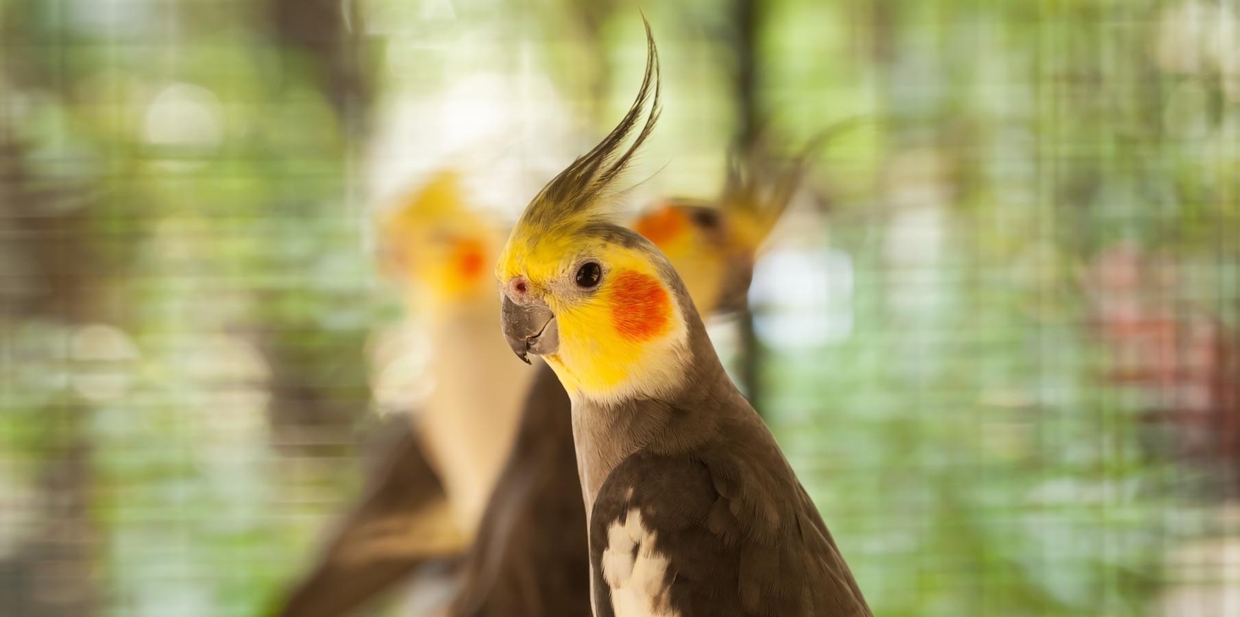Close-up bird Nymphicus hollandicus.