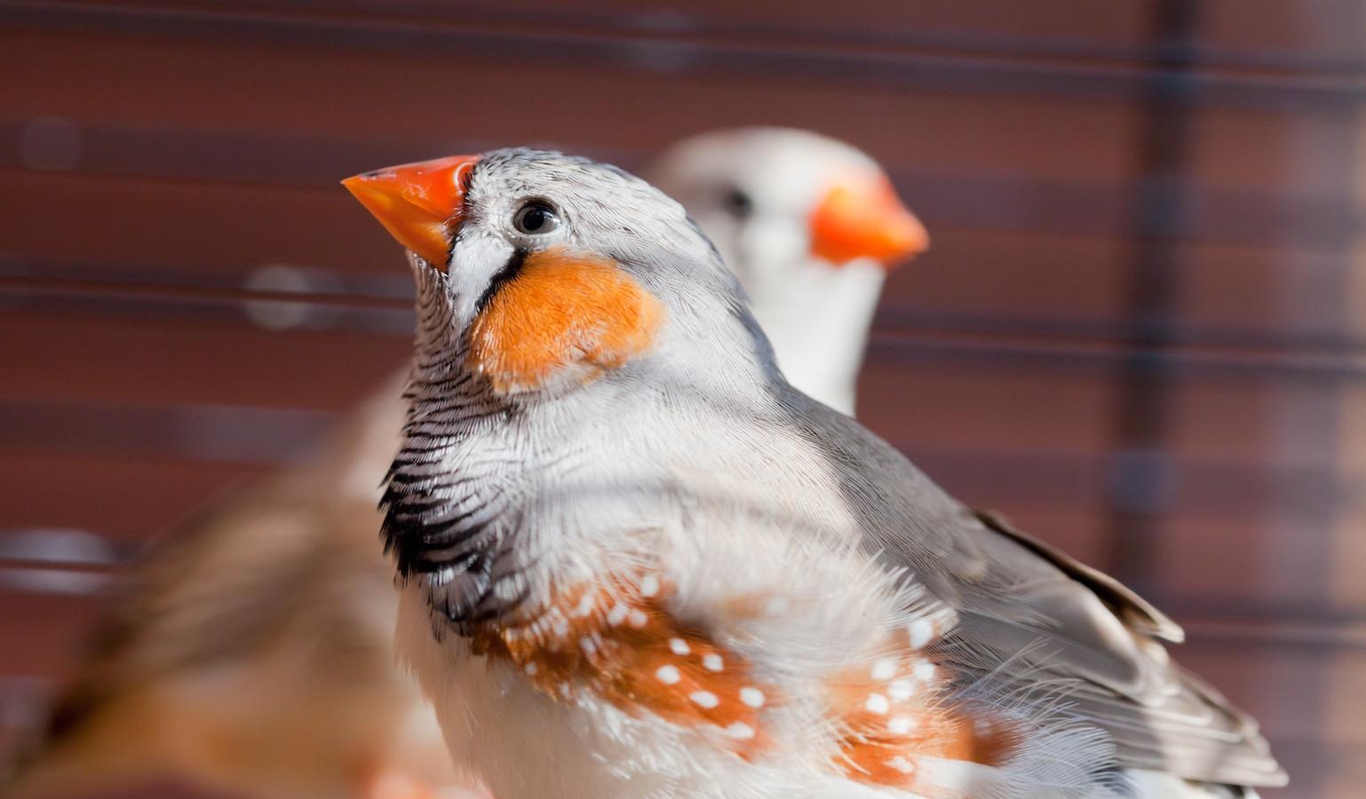 Cut-throat Finch - amadina fasciata - bird in cage