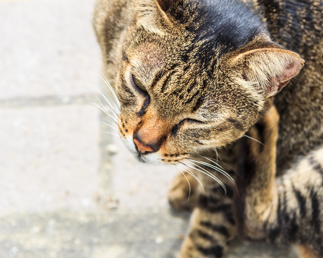 Itching Tabby Cat, Closeup