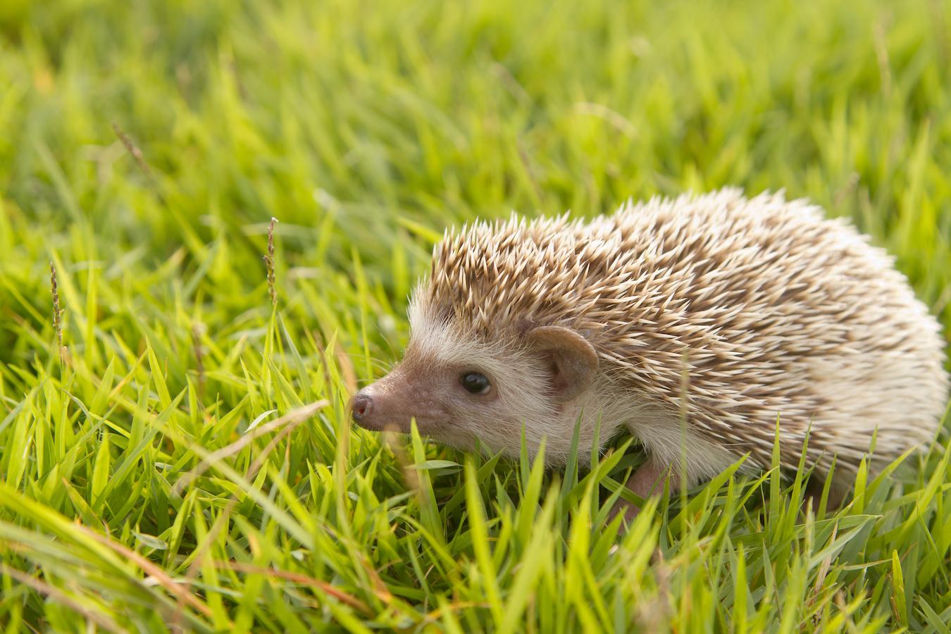 Hedgehog in the garden , African pygmy hedgehog