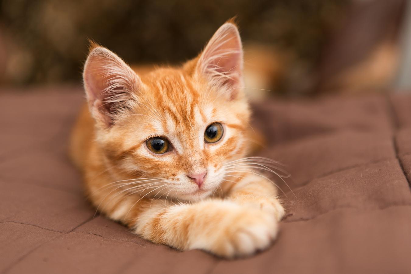 Little orange kitten lie on the bed