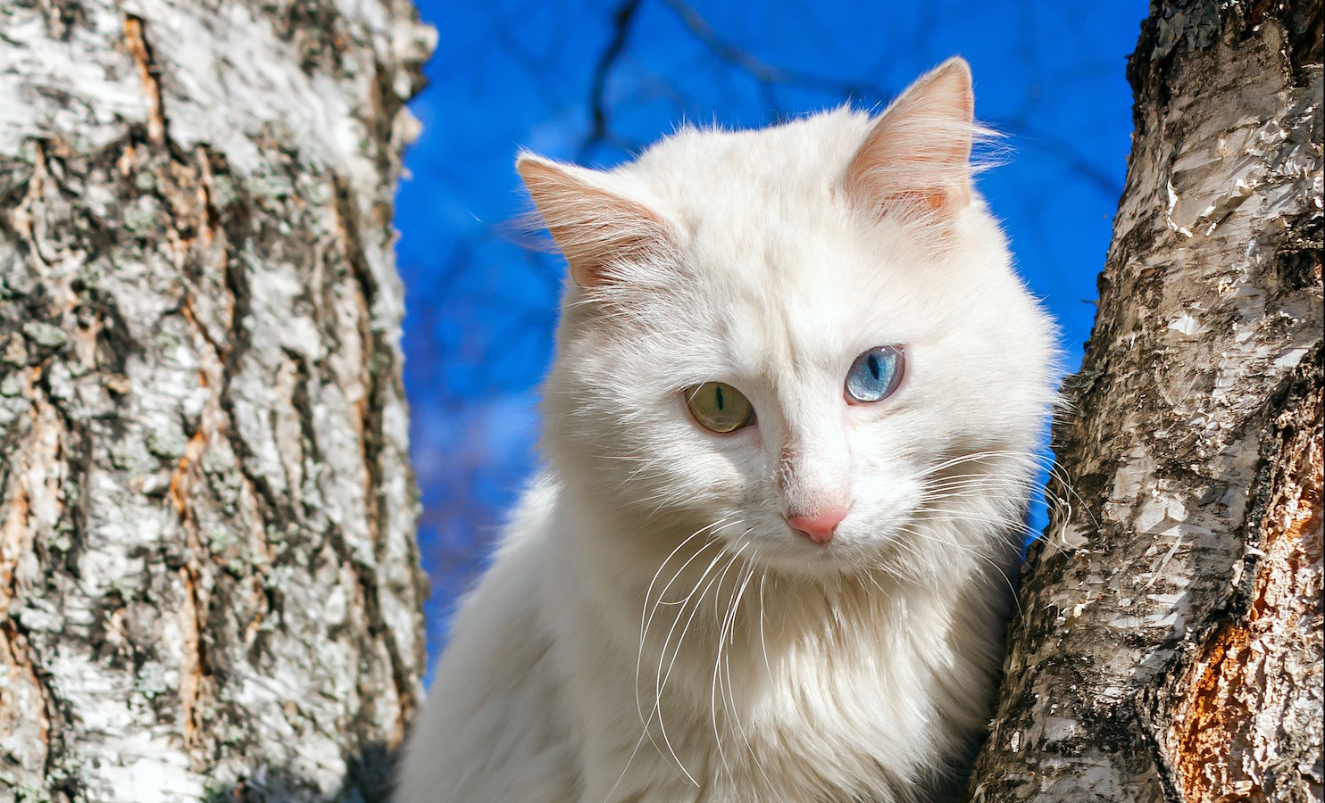 beautiful fluffy white cat with different eyes