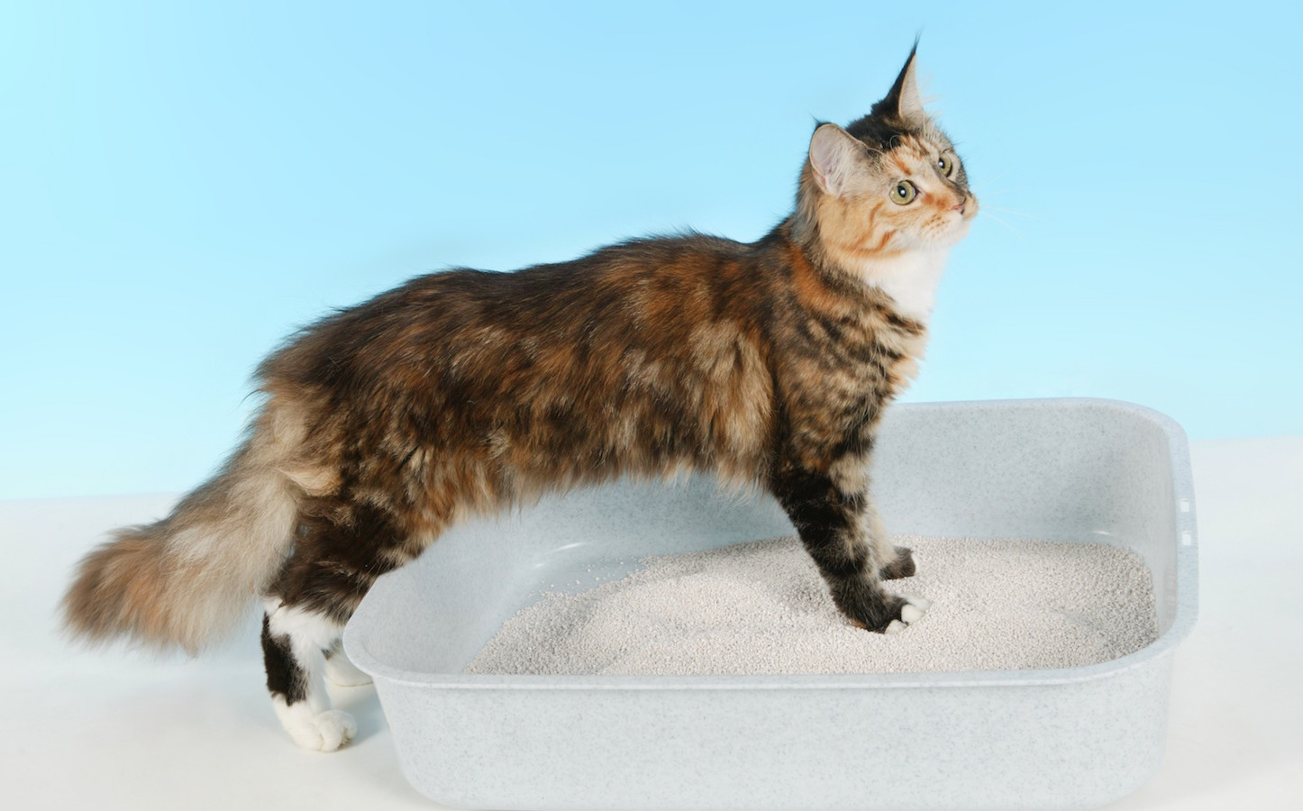 Cat on cat toilet isolated