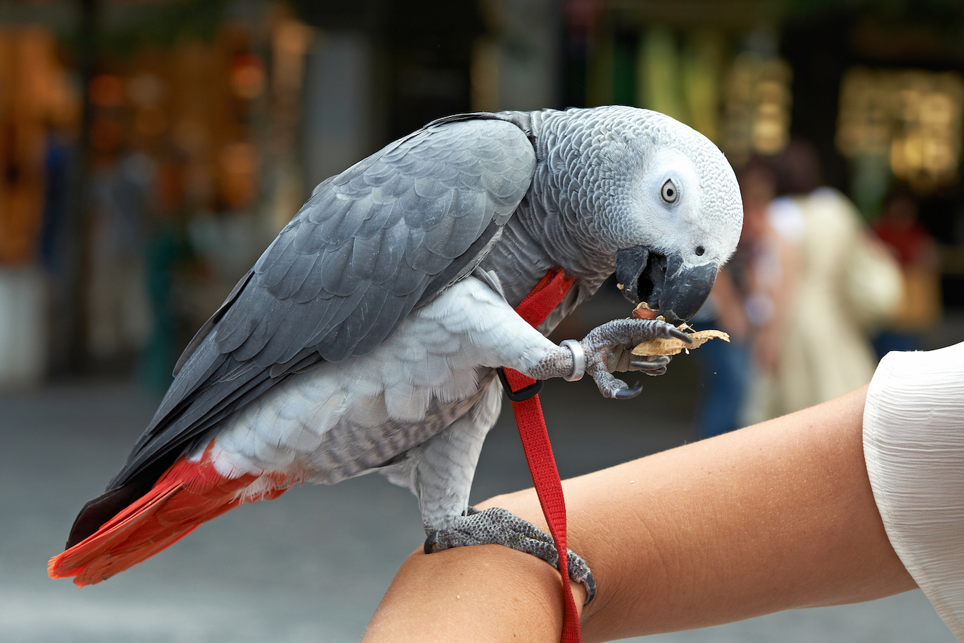 Domesticated Congo African Grey Parrot