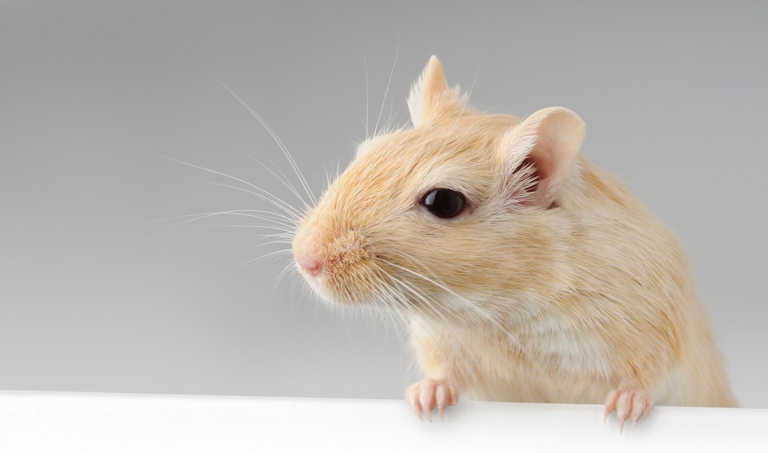 Cute little gerbil standing above white banner