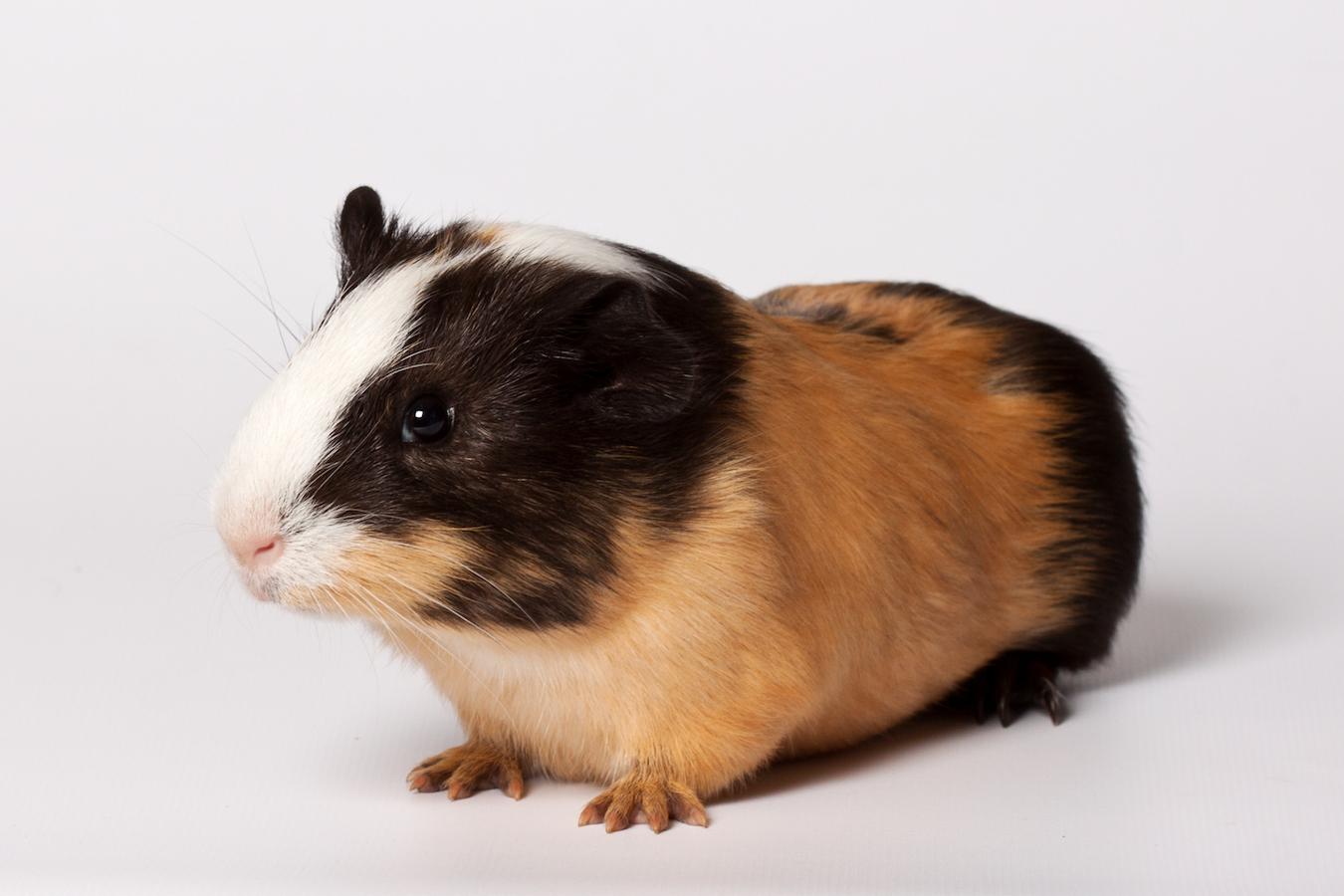 Macro portrait of small colored guinea pig