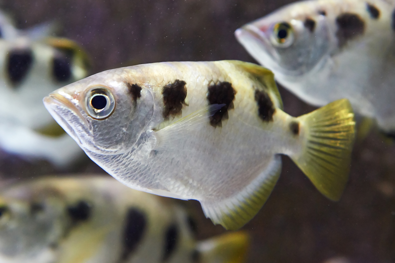 Banded Archerfish (Swimming in its natural habitat