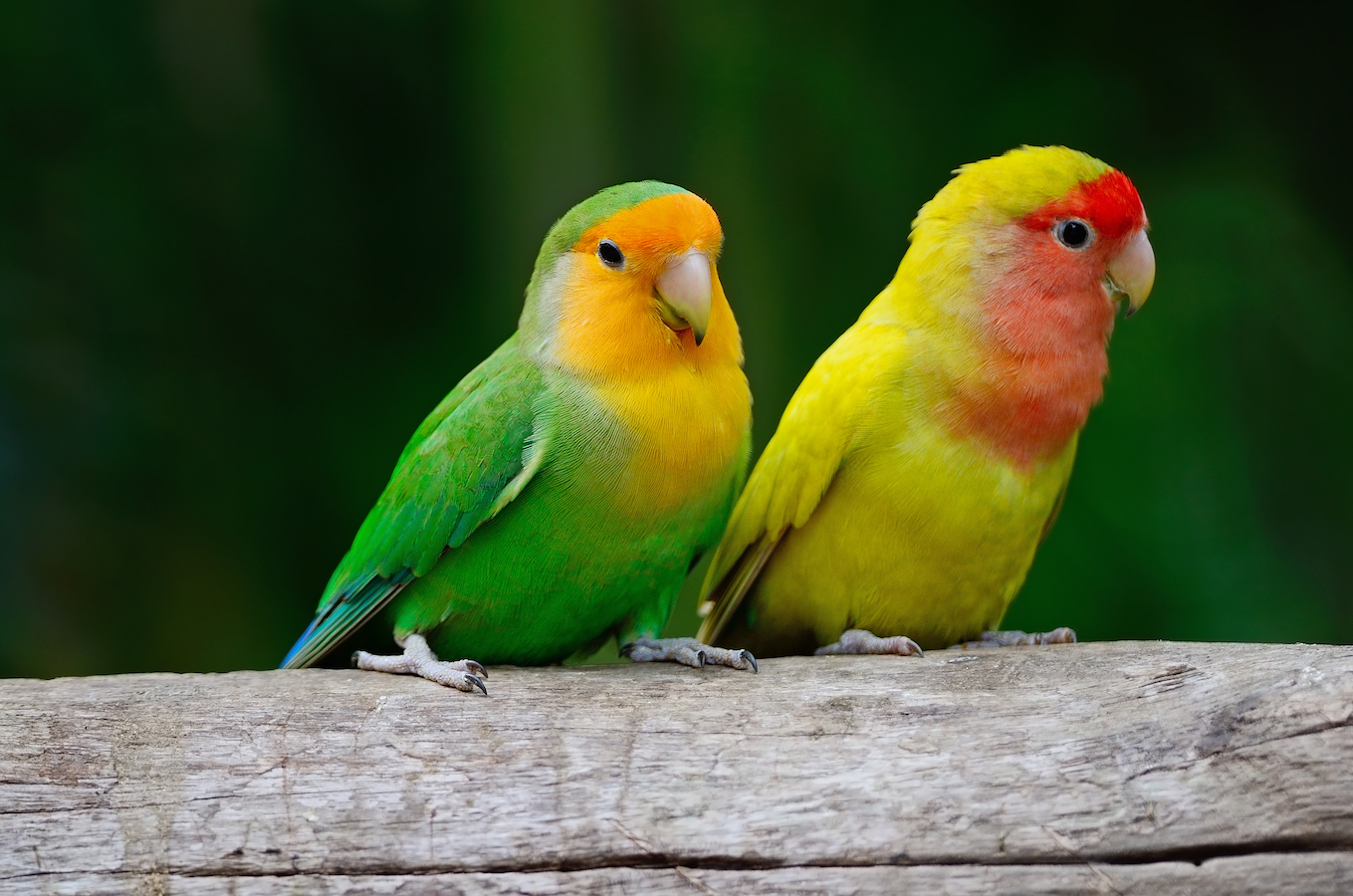 Beautiful bird, Lovebird, standing on the log, face and breast profile