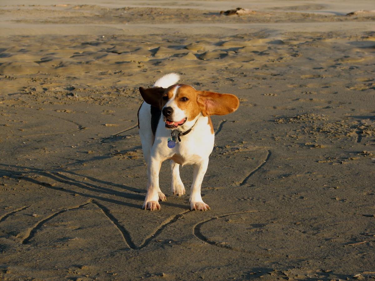 stockvault-beagle-on-the-beach103157