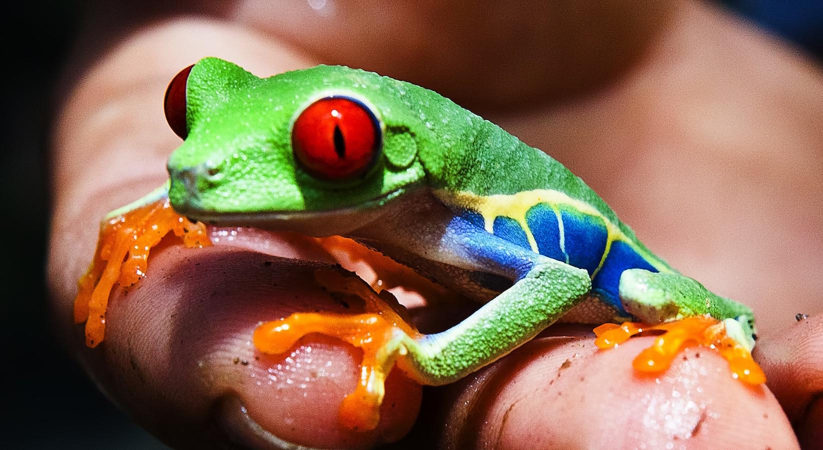 Gaudy leaf frog.