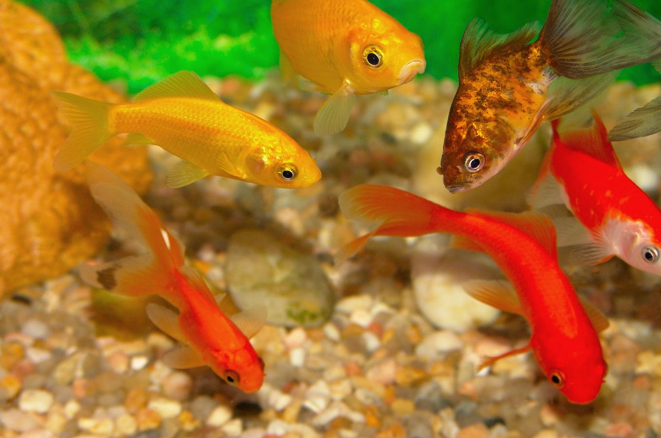 stockvault-golden-fish103952