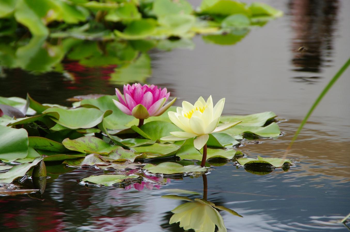 stockvault-lotus-flowers114651